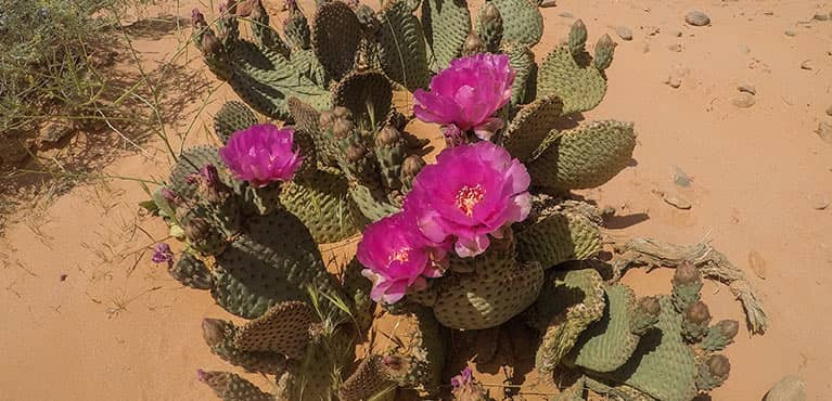 desert cactus with flowers